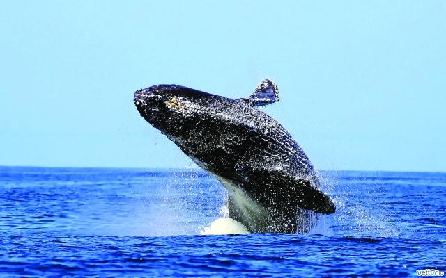 water-ocean-jump-humpback-whales-Favim_com-483018.jpeg